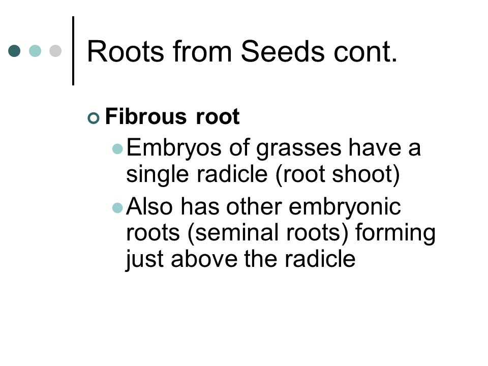 Roots from Seeds cont. Fibrous root. Embryos of grasses have a single radicle (root shoot)