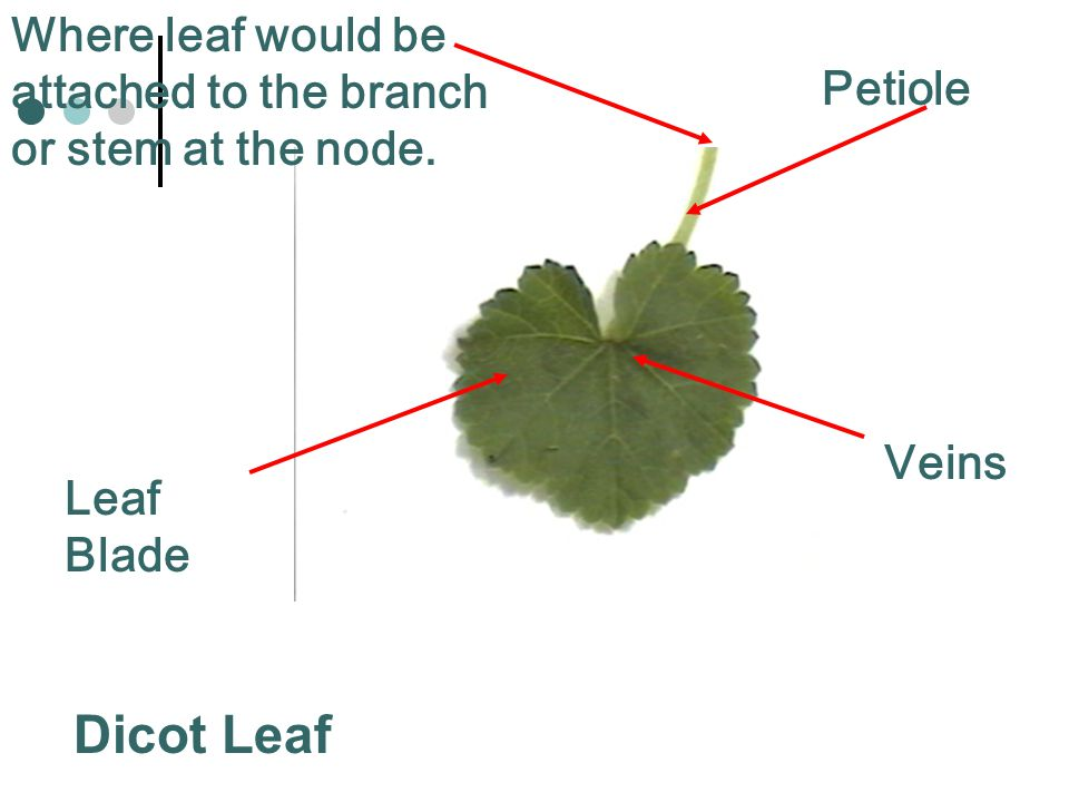 Where leaf would be attached to the branch or stem at the node.