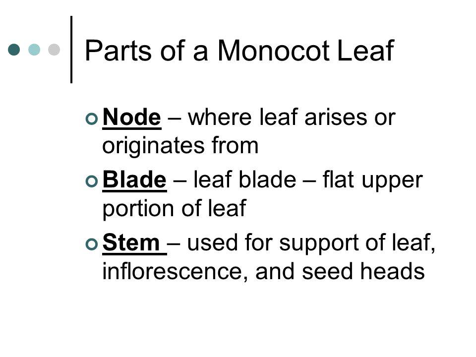 Parts of a Monocot Leaf Node – where leaf arises or originates from