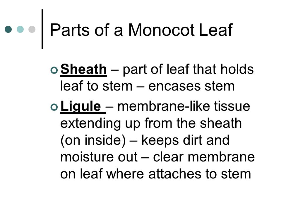 Parts of a Monocot Leaf Sheath – part of leaf that holds leaf to stem – encases stem.