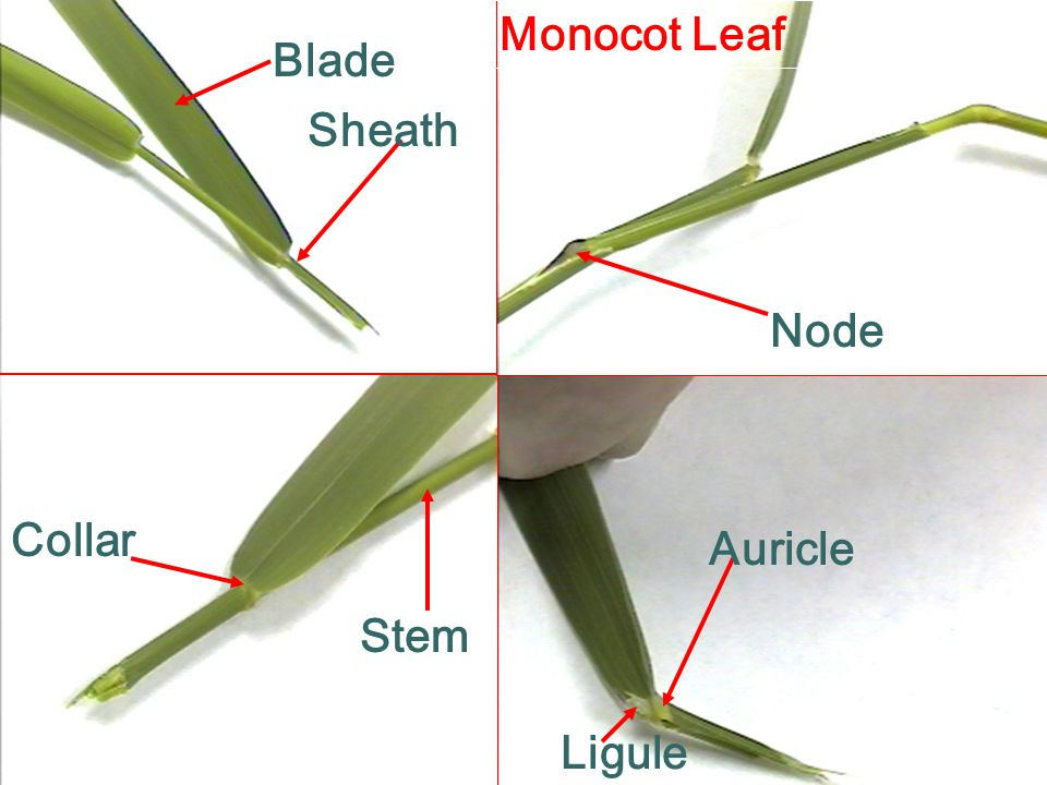 Monocot Leaf Blade Sheath Node Collar Auricle Stem Ligule