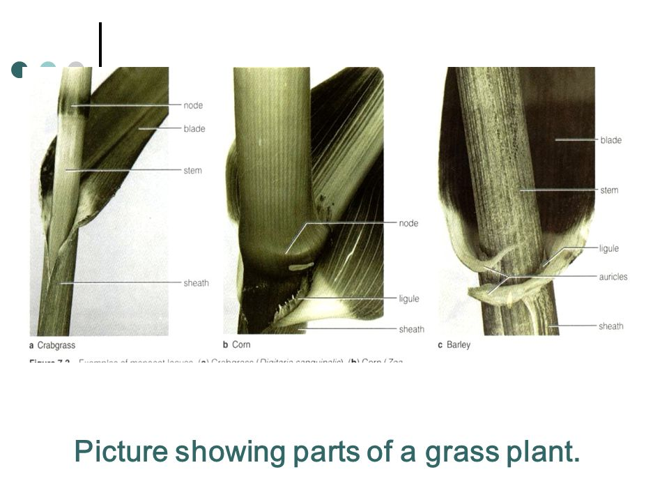 Picture showing parts of a grass plant.