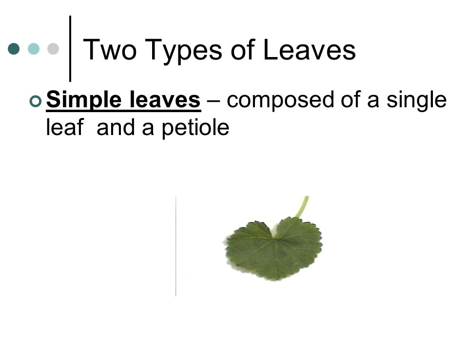 Two Types of Leaves Simple leaves – composed of a single leaf and a petiole