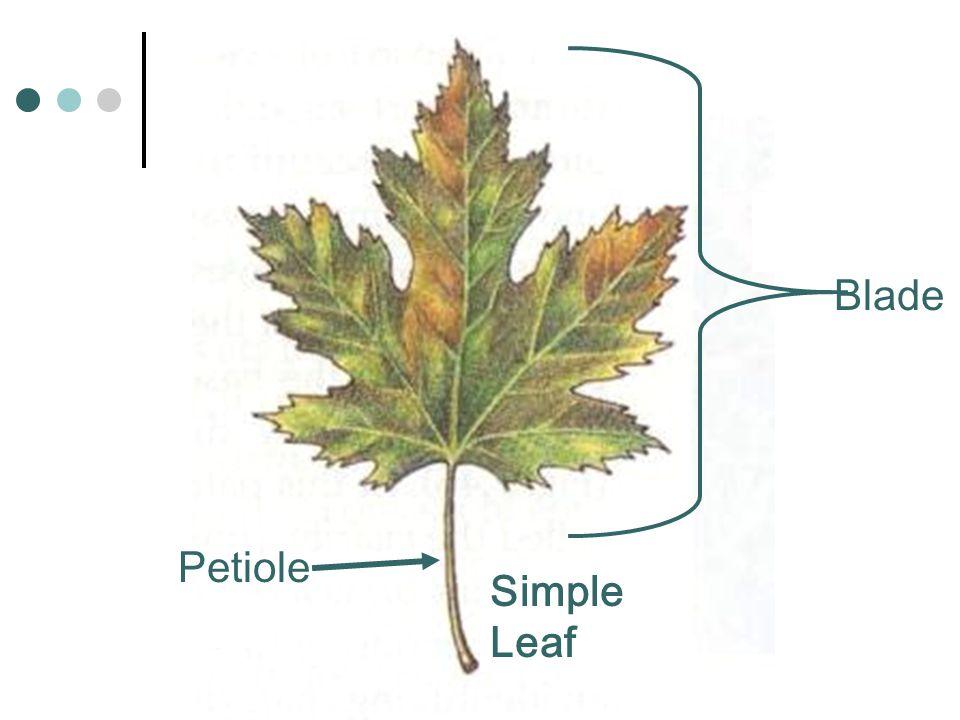 Blade Petiole Simple Leaf