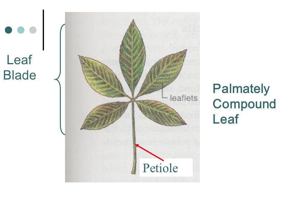 Leaf Blade Palmately Compound Leaf Petiole