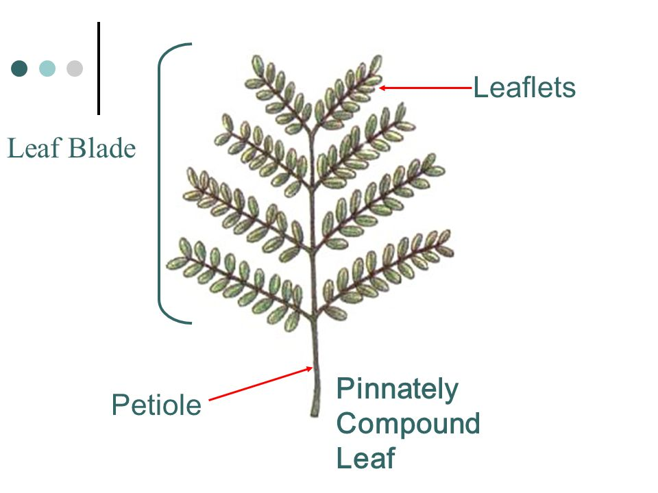 Leaflets Leaf Blade Pinnately Compound Leaf Petiole