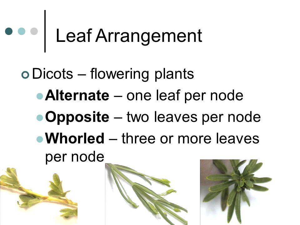 Leaf Arrangement Dicots – flowering plants