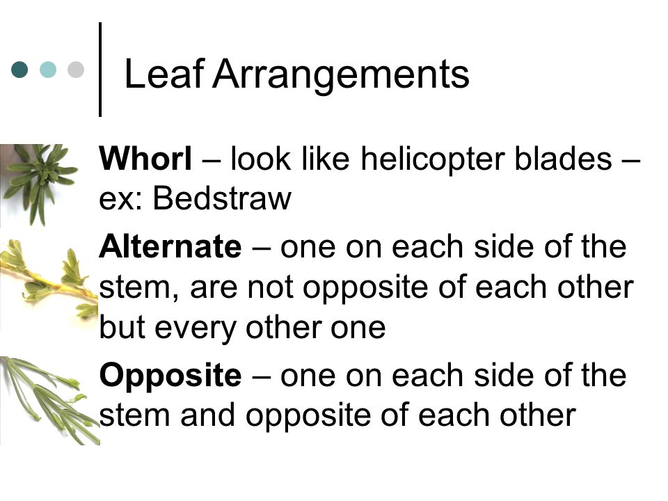 Leaf Arrangements Whorl – look like helicopter blades – ex: Bedstraw