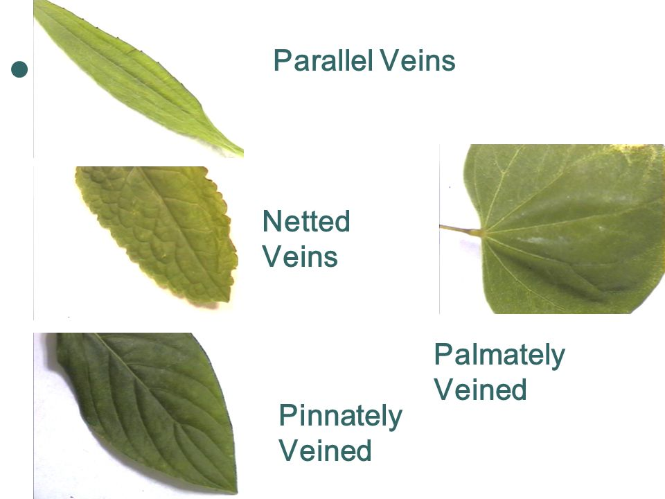 Parallel Veins Netted Veins Palmately Veined Pinnately Veined