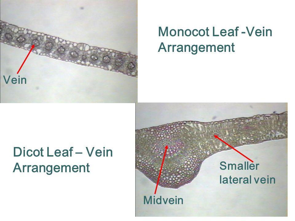 Monocot Leaf -Vein Arrangement