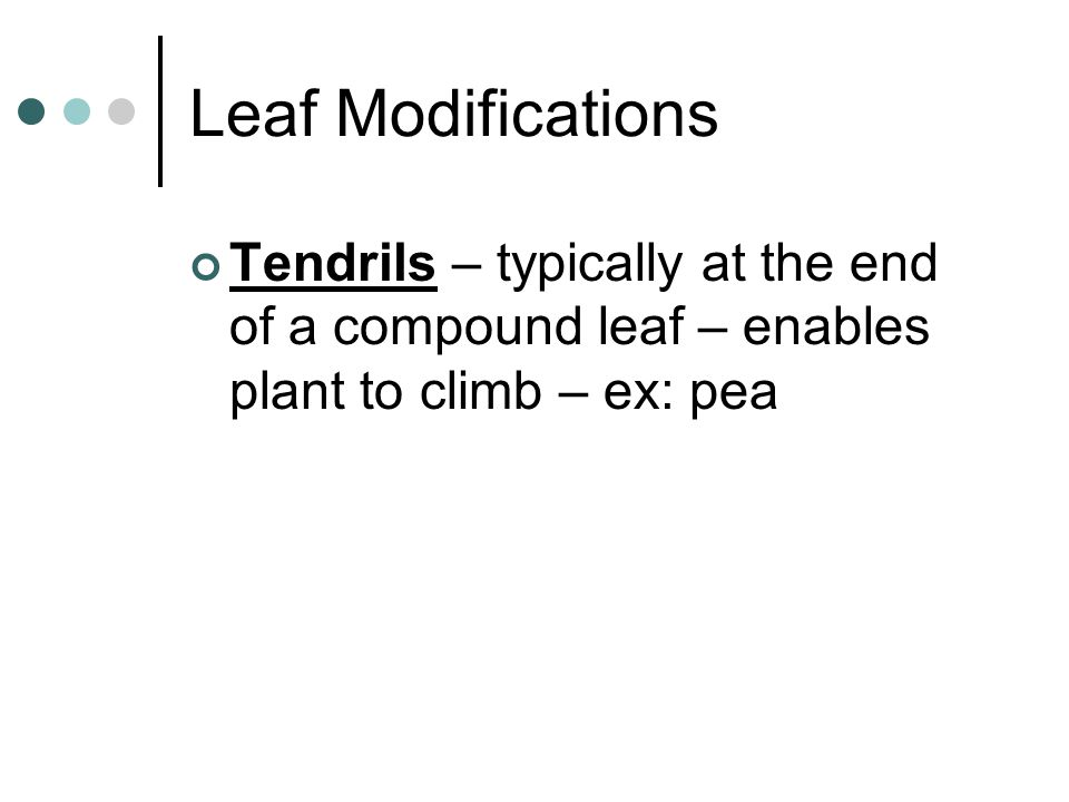 Leaf Modifications Tendrils – typically at the end of a compound leaf – enables plant to climb – ex: pea.