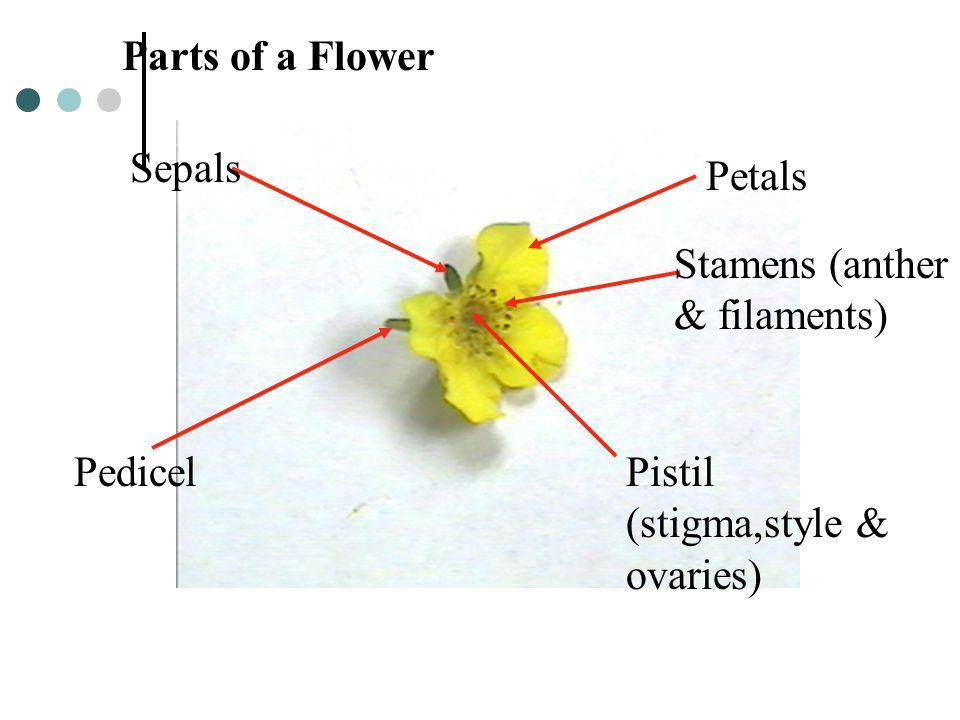 Parts of a Flower Sepals. Petals. Stamens (anther & filaments) Pedicel.