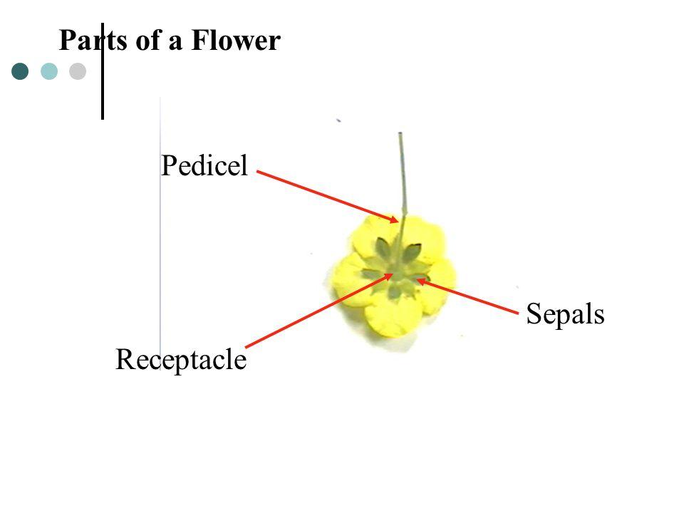 Parts of a Flower Pedicel Sepals Receptacle