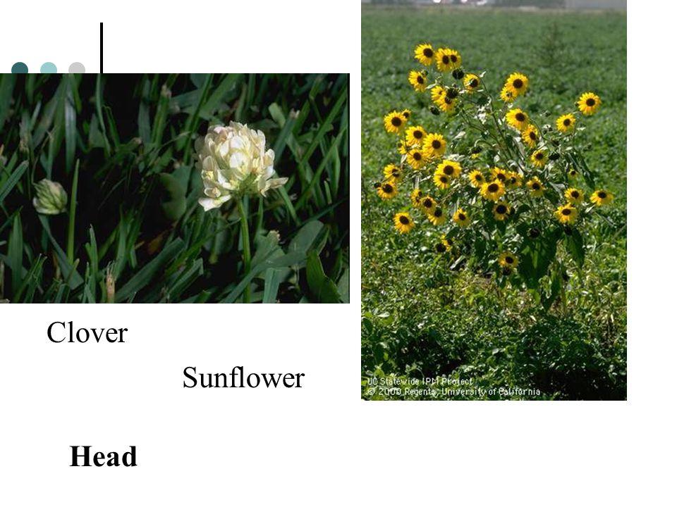 Clover Sunflower Head