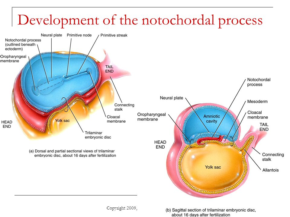 Development of the notochordal process