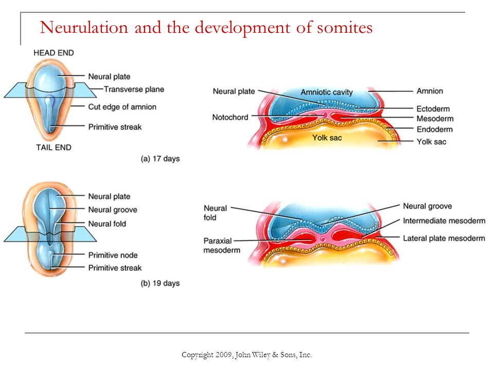 Neurulation and the development of somites