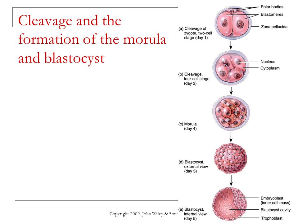 Cleavage and the formation of the morula and blastocyst