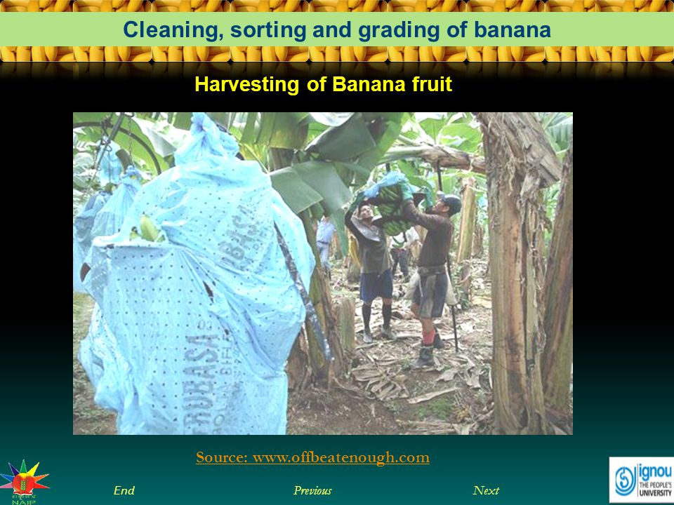 Harvesting of Banana fruit