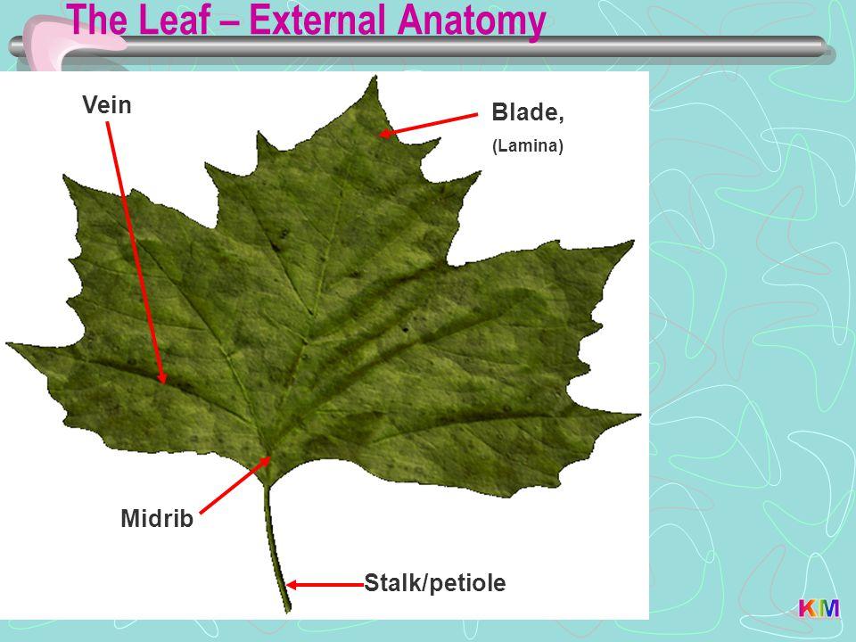 The Leaf – External Anatomy