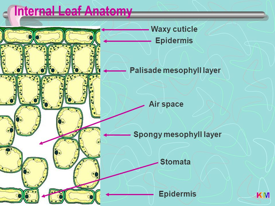 Palisade mesophyll layer Spongy mesophyll layer