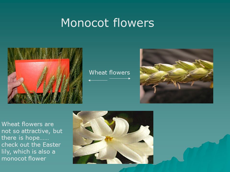Monocot flowers Wheat flowers Wheat flowers are not so attractive, but