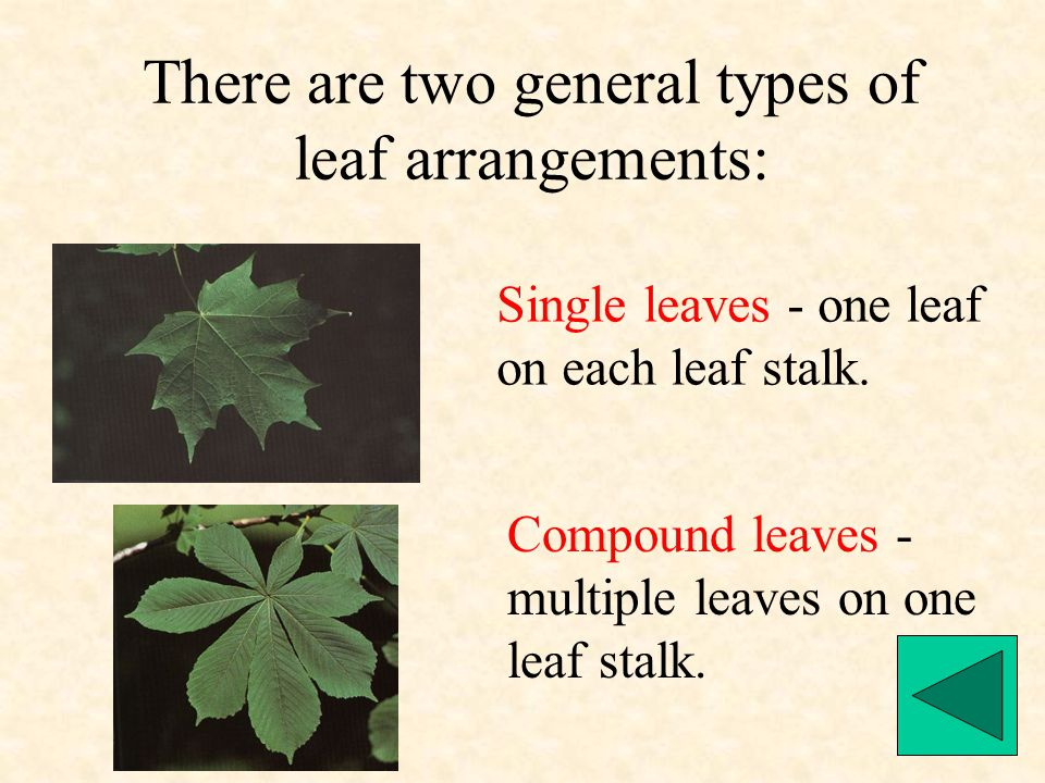 There are two general types of leaf arrangements: