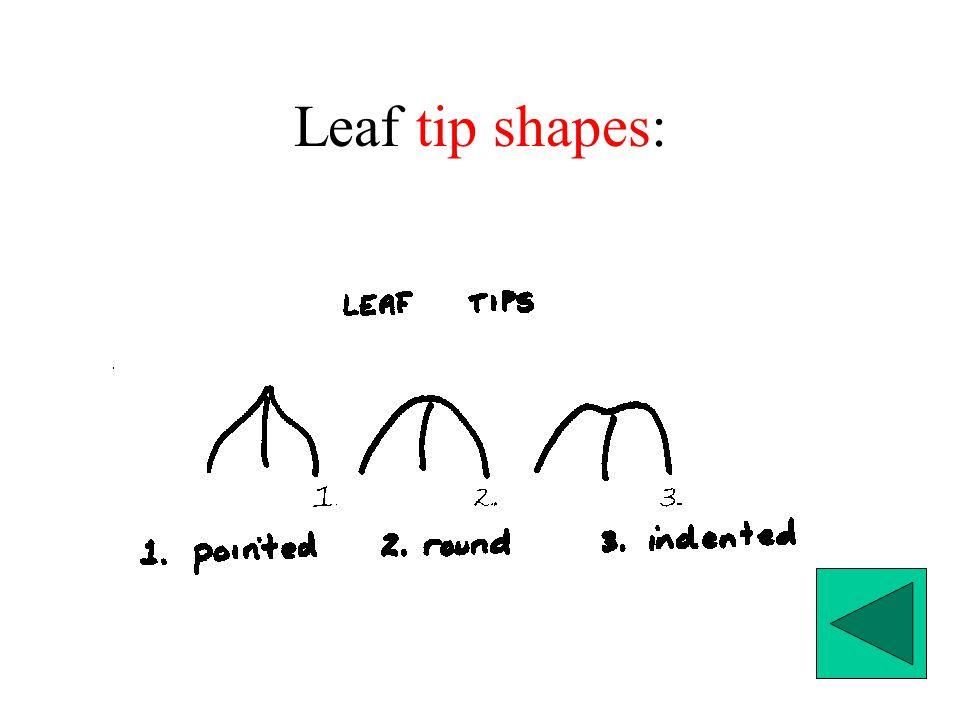 Leaf tip shapes: