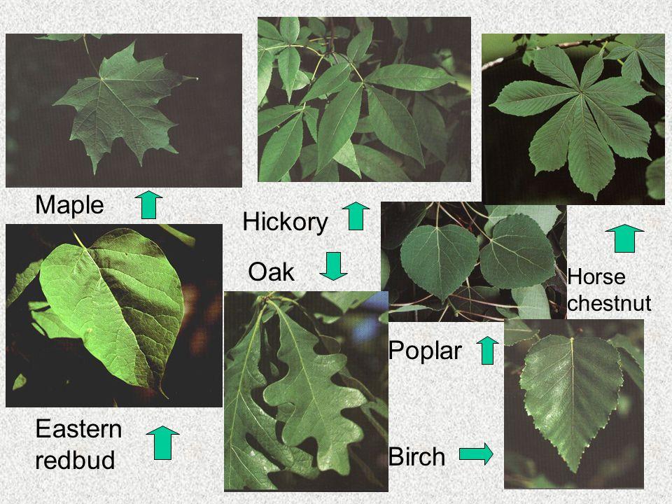 Maple Hickory Horse chestnut Oak Poplar Eastern redbud Birch