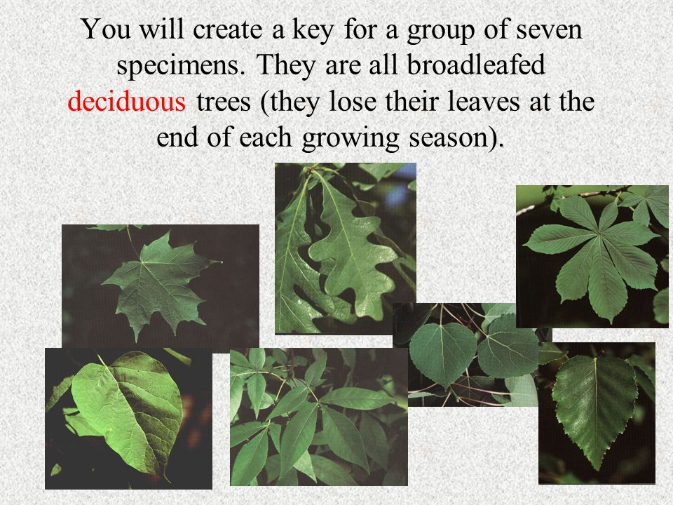 You will create a key for a group of seven specimens