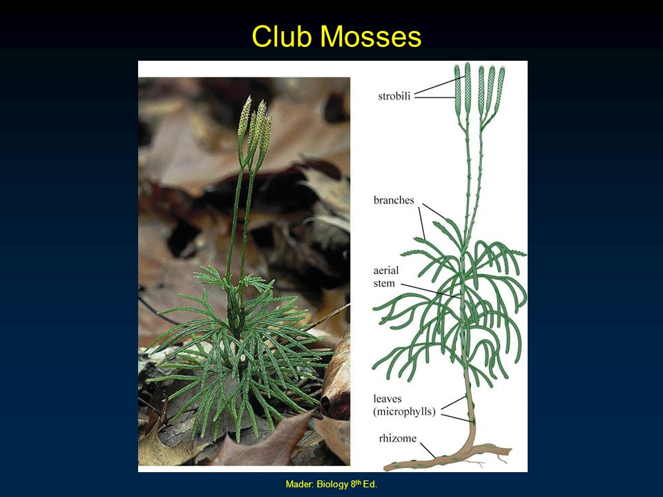 Club Mosses Mader: Biology 8th Ed.