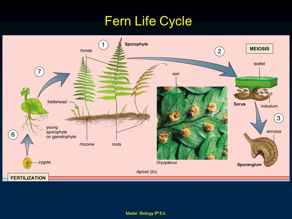 Fern Life Cycle Mader: Biology 8th Ed.