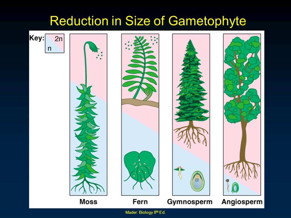 Reduction in Size of Gametophyte