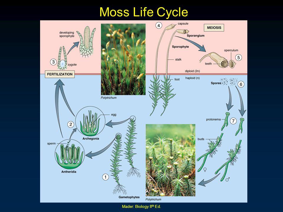 Moss Life Cycle Mader: Biology 8th Ed.