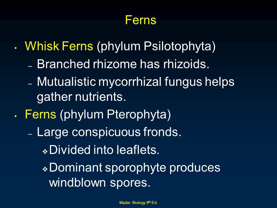 Whisk Ferns (phylum Psilotophyta) Branched rhizome has rhizoids.