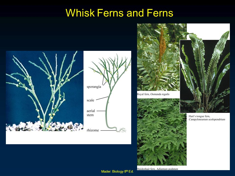 Whisk Ferns and Ferns Mader: Biology 8th Ed.