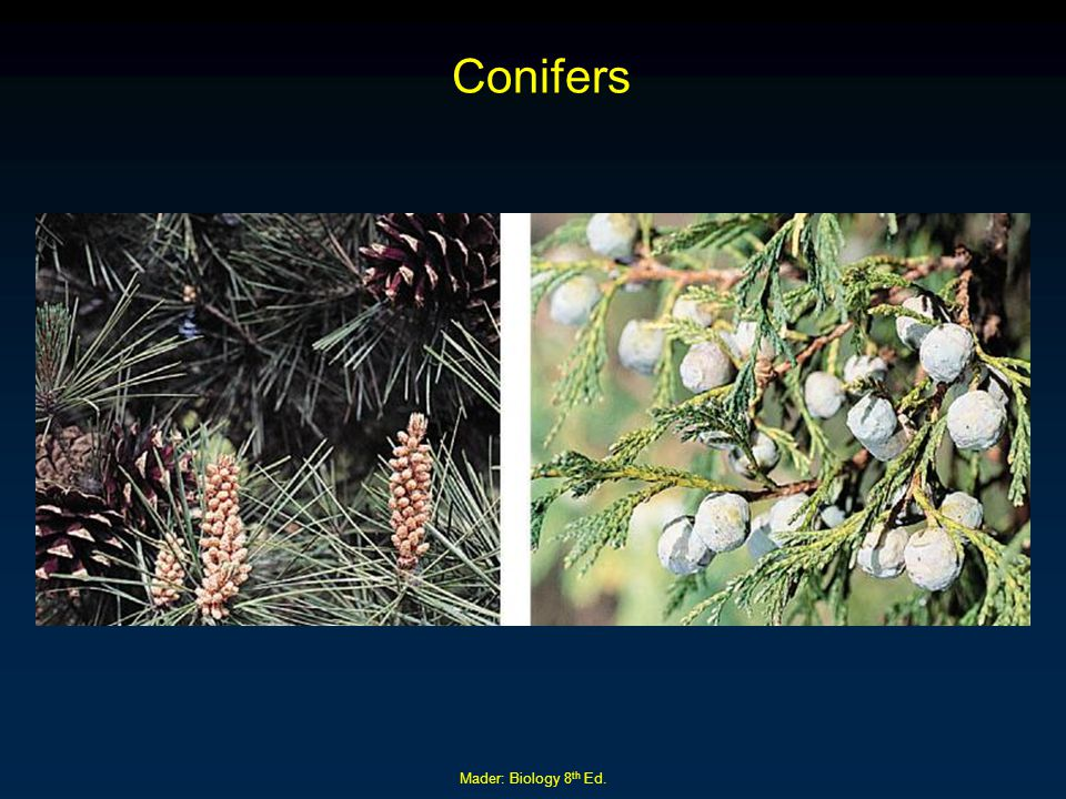 Conifers Mader: Biology 8th Ed.
