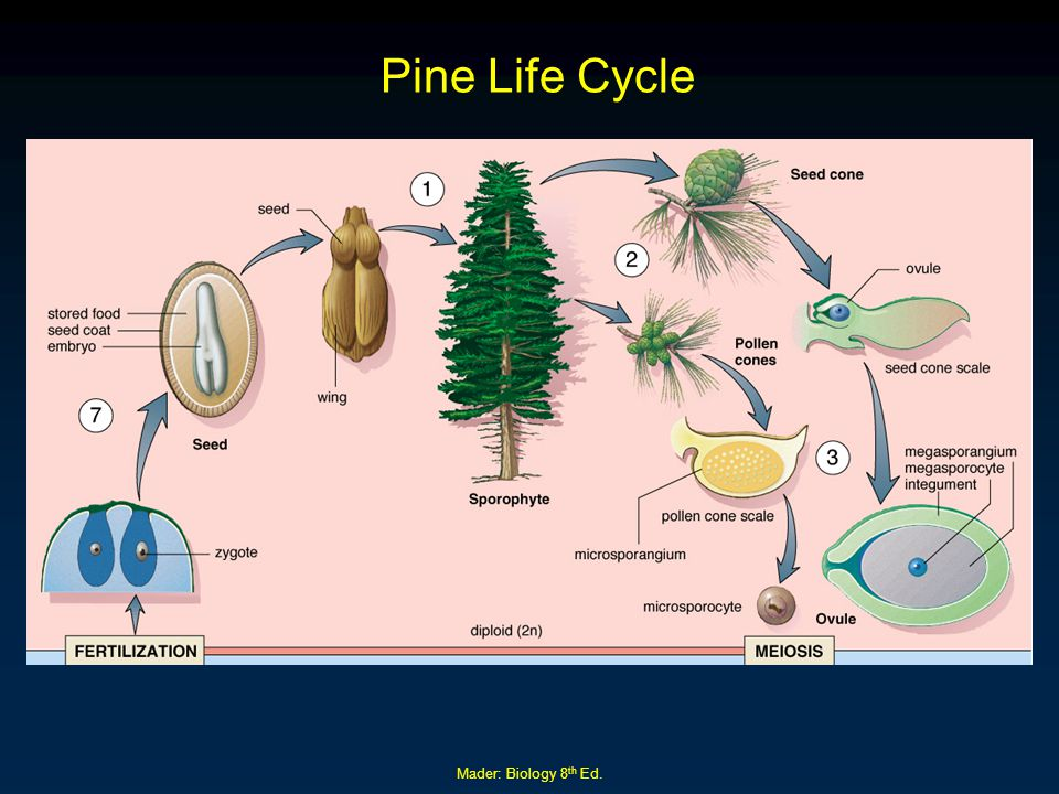 Pine Life Cycle Mader: Biology 8th Ed.