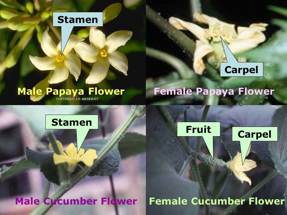Stamen Carpel Stamen Fruit Carpel