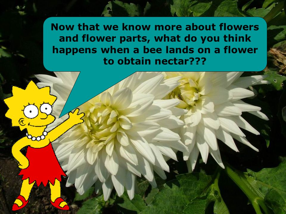 Now that we know more about flowers and flower parts, what do you think happens when a bee lands on a flower to obtain nectar
