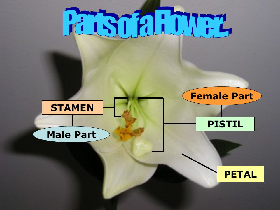Parts of a Flower... Female Part STAMEN PISTIL Male Part PETAL