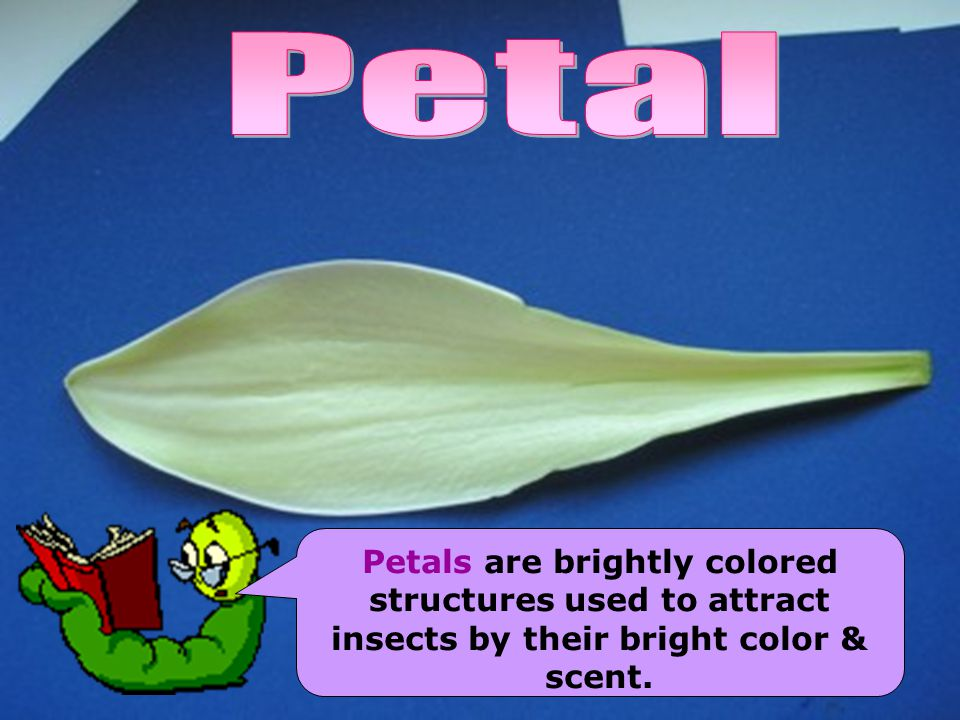 Petal Petals are brightly colored structures used to attract insects by their bright color & scent.
