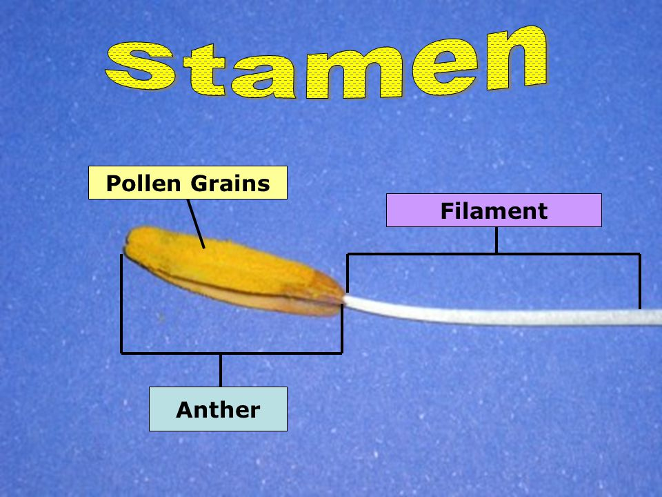 Stamen Pollen Grains Filament Anther
