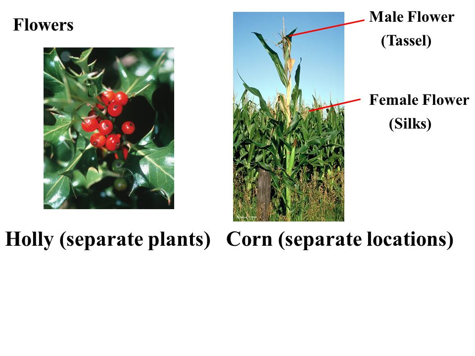 Holly (separate plants) Corn (separate locations)