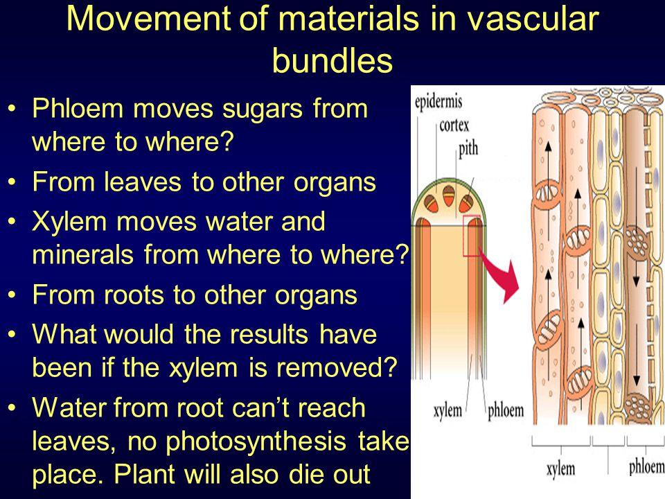 Movement of materials in vascular bundles
