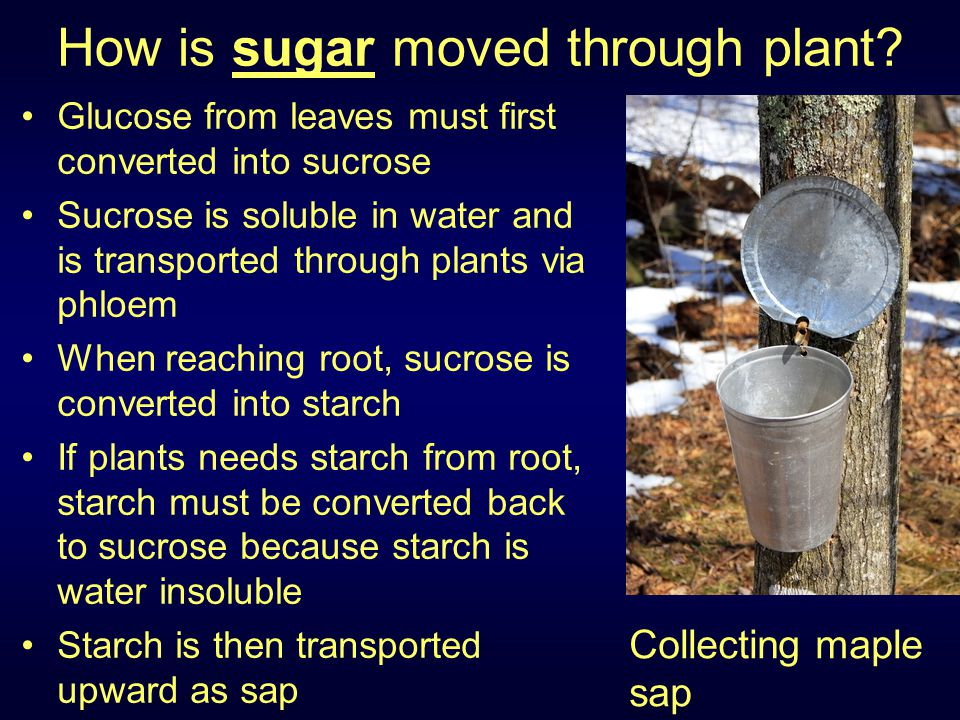 How is sugar moved through plant