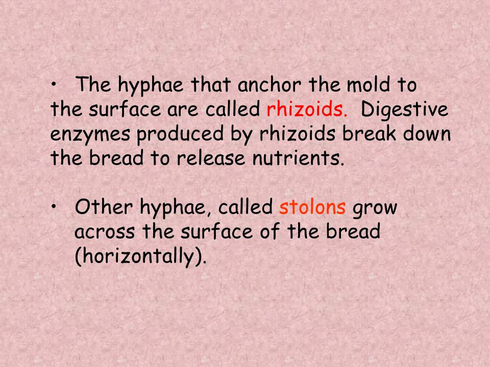 The hyphae that anchor the mold to