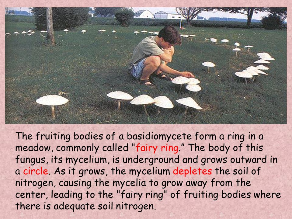 The fruiting bodies of a basidiomycete form a ring in a meadow, commonly called fairy ring. The body of this fungus, its mycelium, is underground and grows outward in a circle.