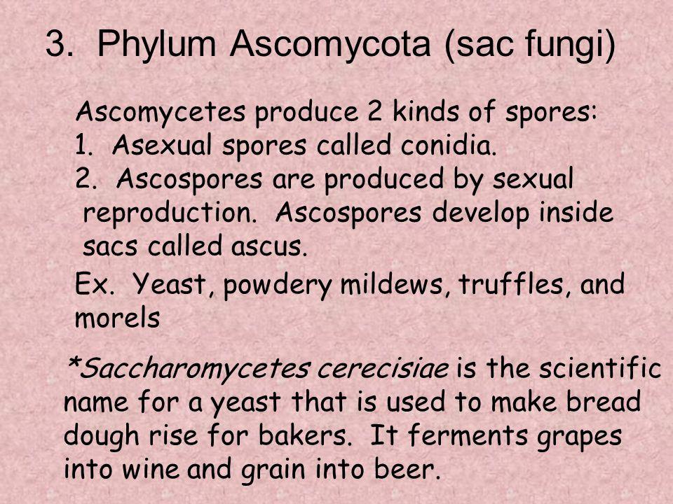 3. Phylum Ascomycota (sac fungi)