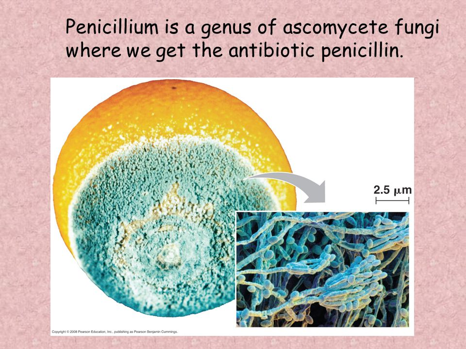 Penicillium is a genus of ascomycete fungi