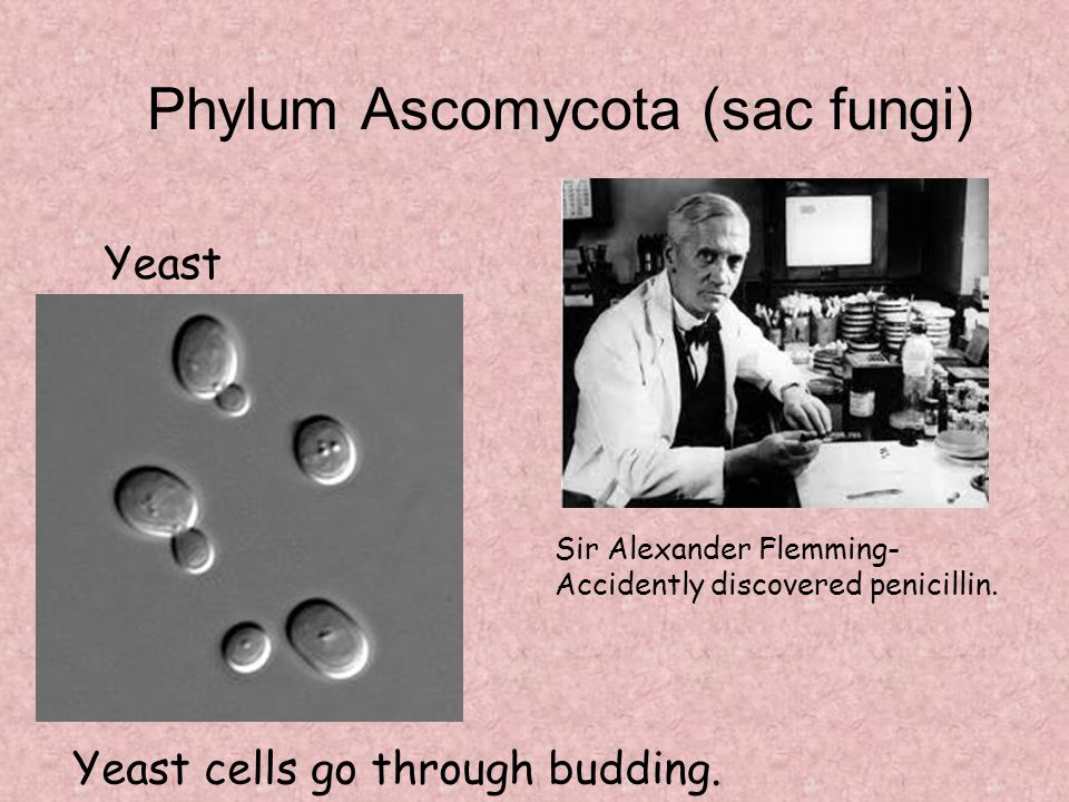 Phylum Ascomycota (sac fungi)
